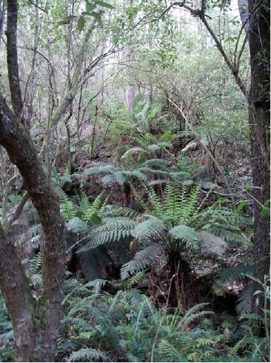 An example of remaining Damp Forest EVC in a sheltered gully near Nolans Creek Track