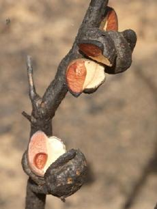 Hakea fruit opening after fire