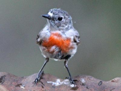 Immature Scarlet Robin