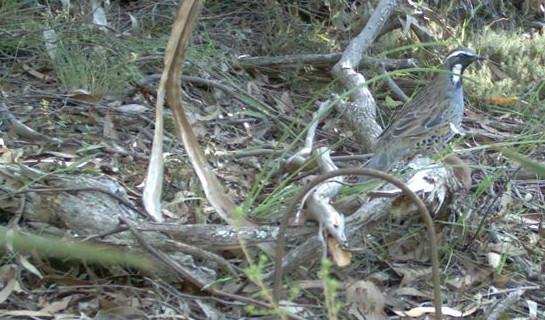Spotted Quail-thrush, Cinclosoma punctatum